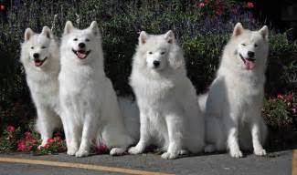 Samoyed pictures featured russian dog breeds
