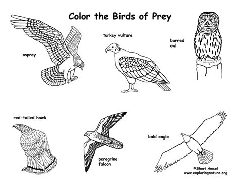 Birds Of Prey Coloring Pages birds of prey coloring exploring nature educational resource