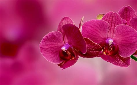 imagenes de rosas multicolores download imagens cor de rosa orqu 237 dea flores tropicais