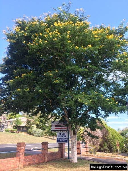 leopard tree shade caesalpinia ferrea