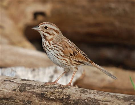 the melodious song sparrow ohio birds and biodiversity