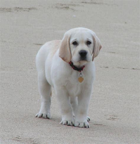 labrador retriever puppy usa puppy pictures