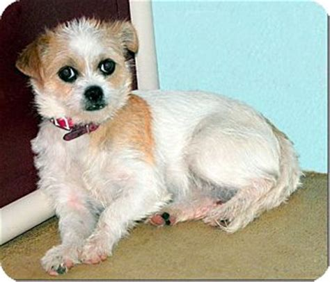 rat terrier shih tzu mix princess adopted sullivan mo shih tzu rat terrier mix