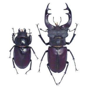 cervo volante insetto lucanus cervus cervo volante insetto utile spaziopiante it