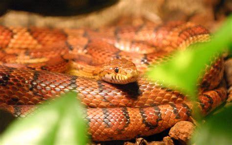 corn snake wikipedia