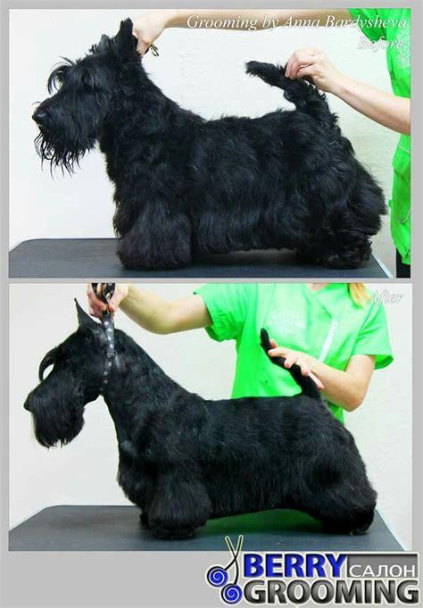 differeñt cut for sçott terrier breeds 171 best images about dog groom cuts styles on pinterest