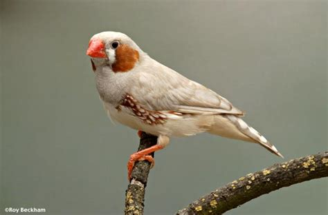 the florida fancy zebra finch