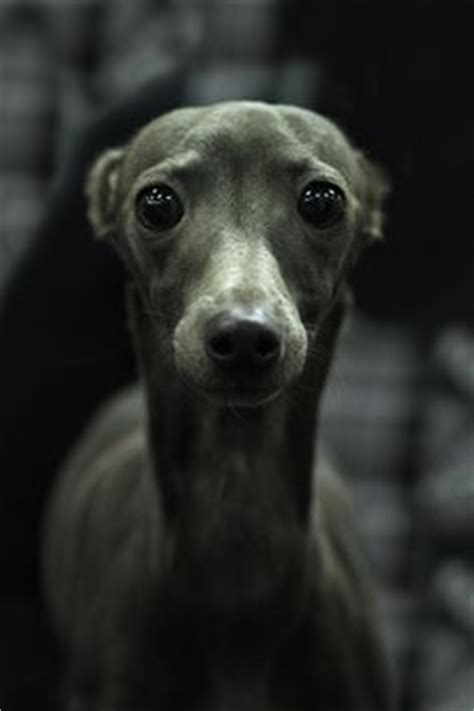 Detox From Wippits by 1000 Ideas About Italian Greyhound On