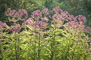 Kitchen And Breakfast Room Design Ideas Joe Pye Weed Growing A Tall Late Season Bloomer