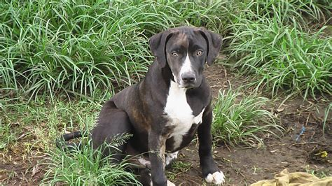 catahoula cur catahoula leopard breed information vetstreet