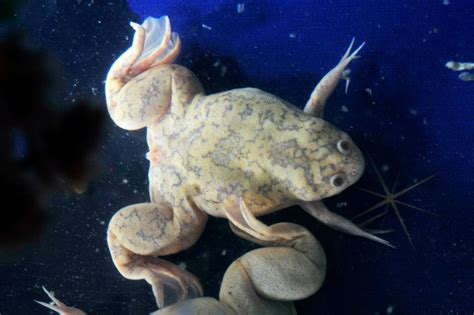 African Clawed Frog - Caudata.org
