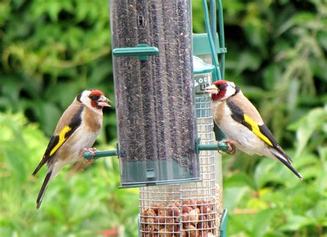 file carduelis carduelis united kingdom two at garden