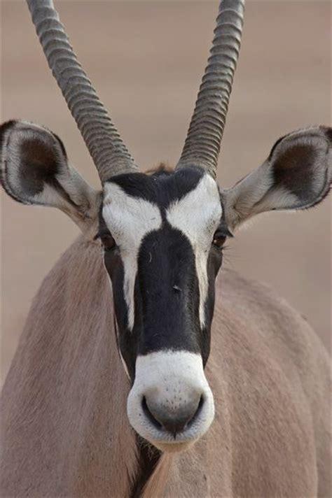 close    face oryx pinterest negative space mammals  africans