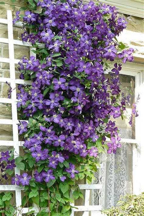 climbing plant with purple flowers clematis pretty purple climbing gardening