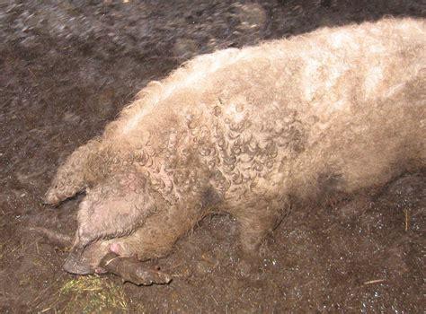 Feeder Hogs wooly pigs feeder pigs