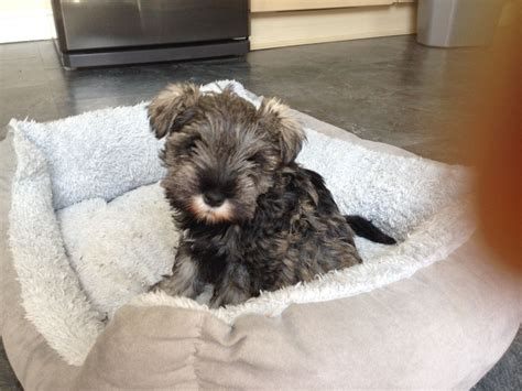 schnauzer puppies for sale in miniature schnauzer puppies for sale ilkley west pets4homes