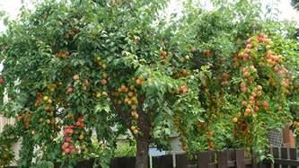 large backyard plum fruit tree growing garden fruit