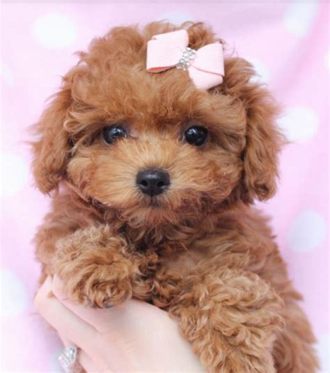 light brown puppy beautiful puppy picture of light brown poodle jpg