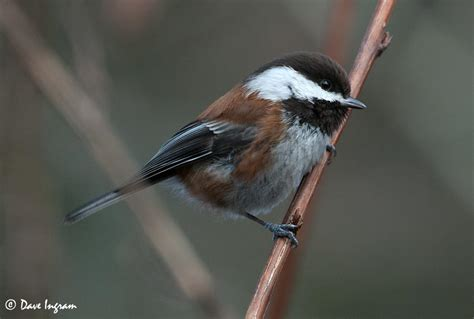 lunchtime walk with chestnut backed chickadees