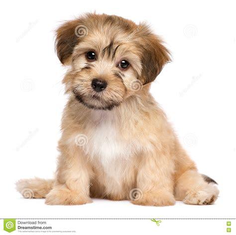 havanese prezzo cucciolo di havanese di seduta sveglia fotografia stock immagine 78123031