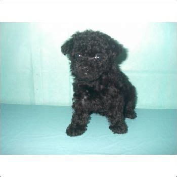 teacup poodle lifespan 17 best ideas about teacup poodle puppies on