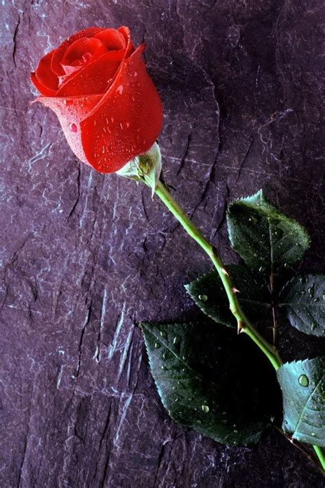 hd rose wallpaper for android phone love rose android wallpaper