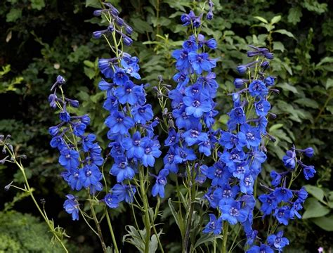 delphiniums how to plant grow and care for delphinium flowers the farmer s almanac