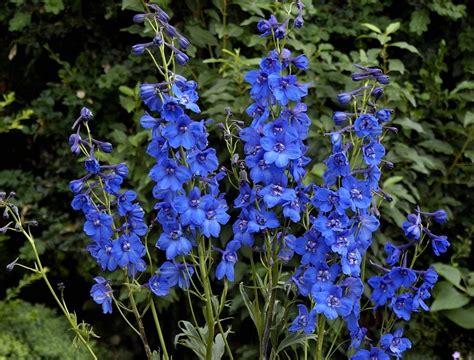 delphiniums   plant grow  care  delphinium