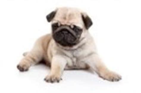 diabetes in pugs enfermedades cong 233 nitas de los perros seg 250 n la raza portal de perros