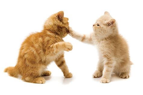 7 Ways To Stop A Cat Fight by How To Stop A Cat Fight And Why They Happen Catster