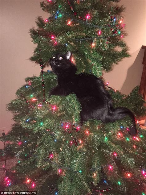 cat first seen christmas tree pictures show cats causing in trees daily mail