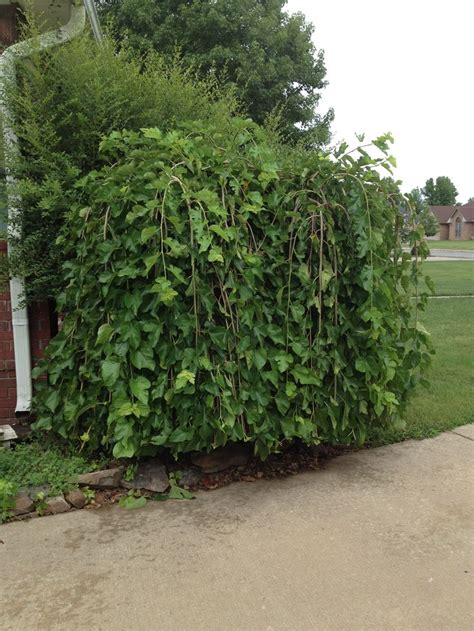weeping mulberry tree trees pinterest