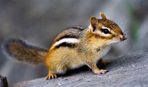 gabbia per scoiattoli giapponesi scoiattolo giapponese 4ze club