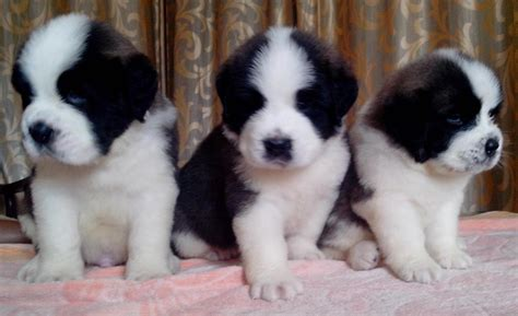 bernard puppies for sale st bernard puppies for sale simha kennels 1 15070 dogs for sale price of puppies