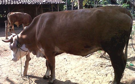 Bibit Sapi Anakan panduan umum ternak sapi potong alam tani