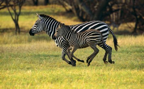 top   cute  dashing zebra wallpapers  hd