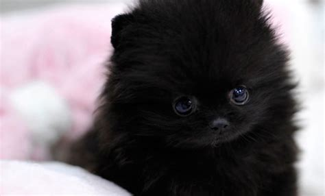 pomeranian cup 35 most awesome black pomeranian pictures and images