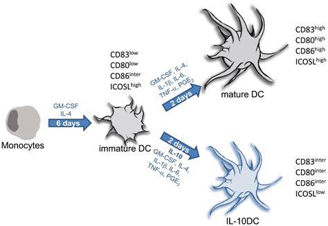 frontiers tolerogenic dendritic cells for frontiers costimulatory molecules on immunogenic versus
