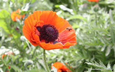 Poppy Flower Garden Poppy Pictures Poppy Flower Pictures