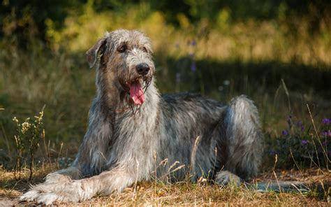 Wolfhound Shedding by Wolfhound Puppies Breed Information Puppies For Sale