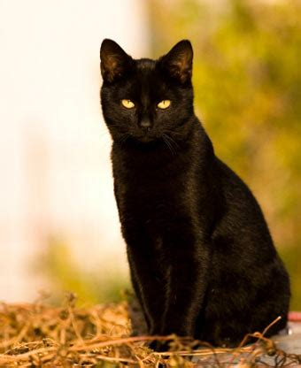 Meaning Of Black Cat At Your Door by Why Cats Yes It S Absurd
