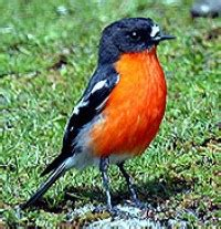 flame robin birds in backyards