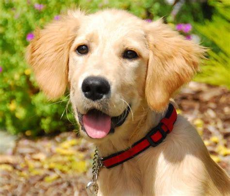 golden labrador retriever rescue 185 best adoptable golden retrievers images on golden retrievers cat