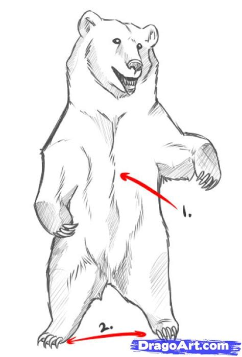 Drawing Of A Standing Up by How To Draw Bears Step By Step Forest Animals Animals