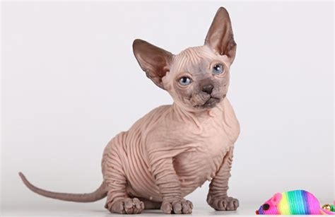 Donskoy Cat, aka Don Sphynx ? Purrfect Cat Breeds