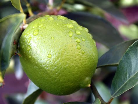 new year lime tree bearss lime tree care tastylandscapetastylandscape