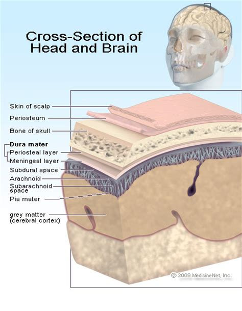 cross section of brain your main control center your head in layers
