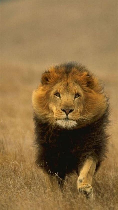 wallpaper iphone lion lion iphone wallpaper download hd 2140 hd wallpaper site