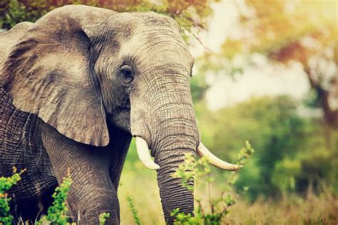 elephant stock  pictures royalty  images
