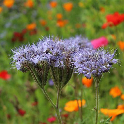 phacelia tanacetifolia purple tansy gardenpost